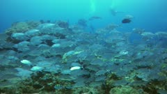 Underwater footage of group of bigeye trevallies (Caranx sexfasciatus) swimming over hard and soft coral reef, divers in the background. The camera is going over the reef while panning.