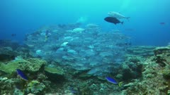 Underwater footage of group of bigeye trevallies (Caranx sexfasciatus) swimming over pristine hard and soft coral reef, divers in the background. The camera is going towards the fishes.