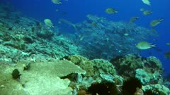 Underwater footage of group of bigeye trevallies (Caranx sexfasciatus) with one barracuda in front swimming over pristine hard and soft coral reef. The camera is going towards the barracuda.