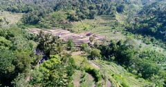 Aerial footage of bright green rice paddies with a few coconut trees and tropical forest around. The camera is going sideway along the rice fields.