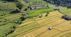 Aerial footage of rice paddies at various stages from just harvested to bright green ones with road passing in the middle. The camera is going over the fields while tilting up.