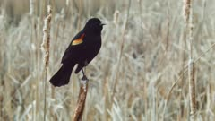 Red-winged Blackbird male calls on cattail