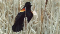 Red-winged Blackbird male calls on cattail closeup