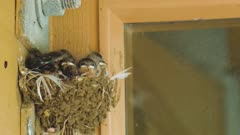 Barn swallow feeds chicks in nest, removes fecal sac
