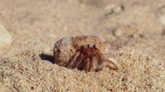 Common Sand Hermit Crab Crawls Away