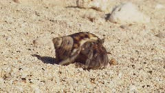 Common Sand Hermit Crab Walks Away