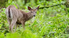 White-tailed Deer eating leaves in a mossy green forest