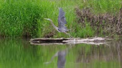Great blue heron flies in slow motion with reflection in river