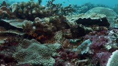 Scorpionfish camouflaged hiding on coral reef