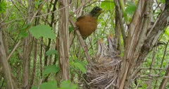 American Robin feeds chicks a worm in nest