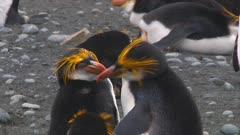 Royal Penguins (Eudyptes Schlegeli) Preening On Macquarie Island