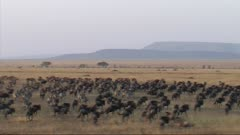 Aerial View Of The Migration Of Wildebeest