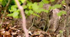 Lynx mother and calf