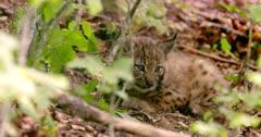 Baby lynx resting