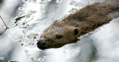 Eurasian beaver stands at surface of watera and snifs to identify potential danger