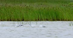 Gull-billed and sandwich terns bathing in a pond and then take off in slow-motion