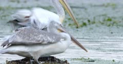 Close up of a Dalmatian pelican gets down a mud pile and starts swimming on the lake