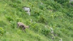 Alpine chamois walks downhill and eats grass