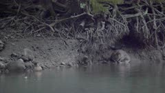 Eurasian beaver sited on shore cleans its fur