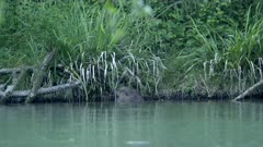 Eurasian beaver cut a banch and swims with it