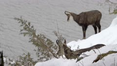 Two alpine chamois in the snow overhanging a lake eat juniper
