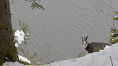 Alpine chamois in the snow overhanging a lake eat juniper