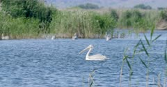 Dalmatian pelican swims on a lake near a colony and exits frame