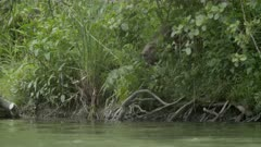 Eurasian beaver enters into the water, swims and dive