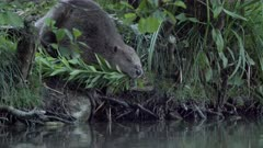 Eurasian beaver carrying a big branch in its mouth enters into the water, swims and exits frame