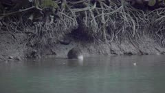 Eurasian beaver gets out of water