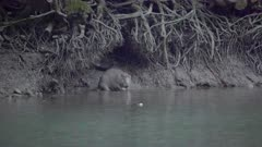 Eurasian beaver sits down and scratches its ear