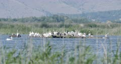 Colony of dalmatian pelicans on an island of mud