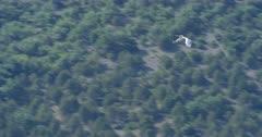Flight of a dalmatian pelican - SloMo