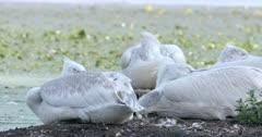 Group of Dalmatian pelicans sleeping