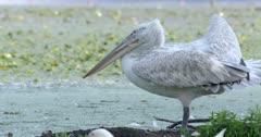 Dalmatian pelican scratches its wing - SloMo