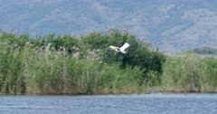 Flight of a dalmatian pelican over a colony and land behind reedbeds - SloMo