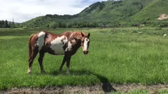 Horses peacefully grazing on a grassy field during a summer day. Park City, Utah.