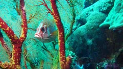 Squirrelfish peeping through huge gorgonian soft coral tree