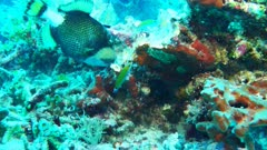 Titan Triggerfish feeding on coral