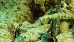 Network Pipefish attacked by a Scorpionfish