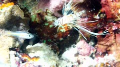 Baby Lionfish attack a Cardinalfish