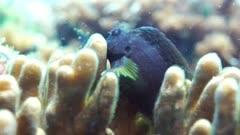 Black Goby feeding on Hard Coral Polyps