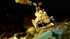 Harlequin Shrimp Directing the Traffic