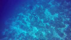 Manta Ray swimming with diver over the coral reef top view