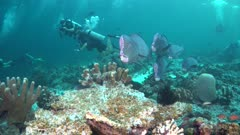 Bumphead Parrotfish School at Cleanoing Station with Divers