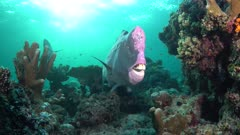 Large Male Bumphead Parrotfish Head with Blue Cleaner Wrasse close