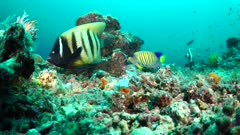 Six-banded and Regal Anglelfish Feeding on Coral