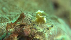 Commensal Periclimenes Shrimp on anemone feeding
