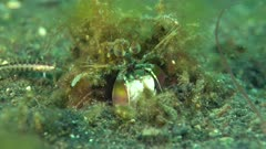 Mantis shrimp sp small in hoile