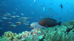 Cleaner Wrasse cleaning station on surgeonfish and Fusilier schools to Giant Trevally hunting